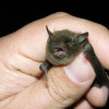 Bat maternity season starts April 15